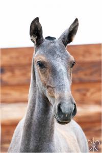 Photo cheval a vendre QADILLAC DE LA GESSE